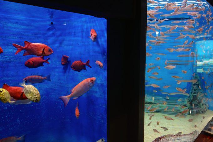 赤や黄色など大きな魚が水槽内を泳いでいる