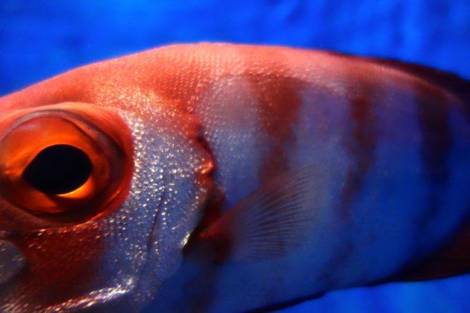 度アップで撮影した赤色と白色の縞々の魚