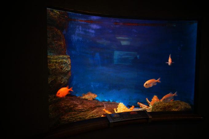 ゆっくりと泳ぐ赤い魚