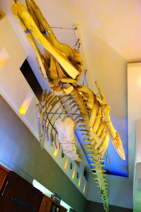 天井から吊り下げられたツチクジラの骨格標本