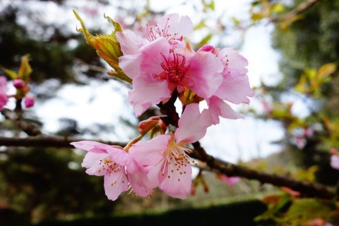 綺麗なピンク色した桜の花