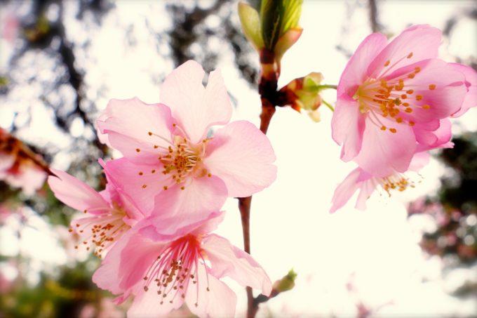 薄ピンク色で可憐に咲く桜