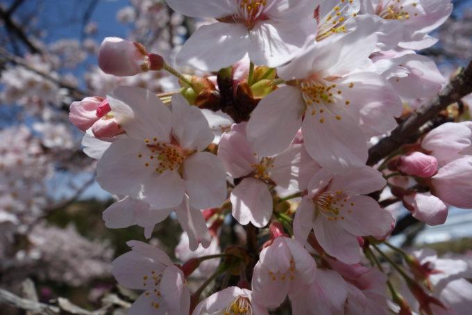 満開に咲いた深山公園の桜