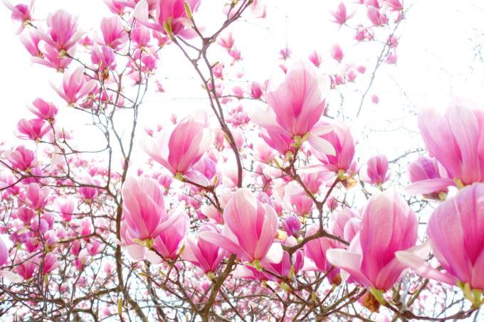 下から空とピンクの花を撮影した場面