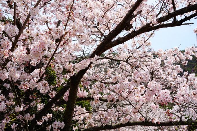 満開に咲き誇る桜の木