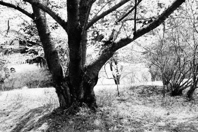 モノクロで撮影した桜の大木の足元