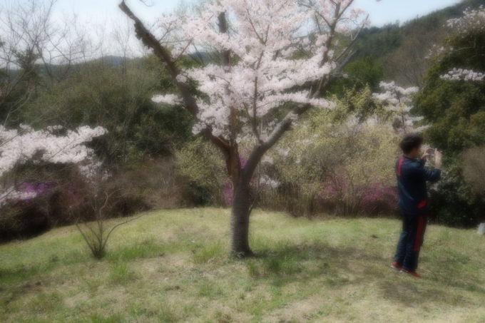 こちらはソフトフォーカスでぼんやりと撮影した桜の咲いた広場