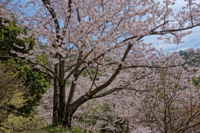 ピクチャエフェクトの機能で撮影した桜の木