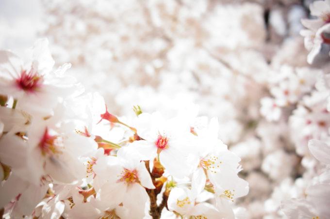 桜の花をアップで撮影した様子