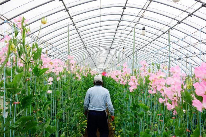 摘み取りを指導する農園の社長