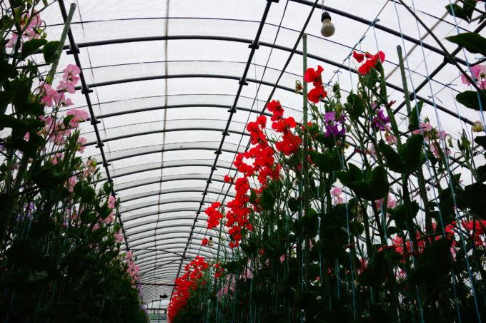 真っ赤な花を咲かせたハウス内のスイートピー