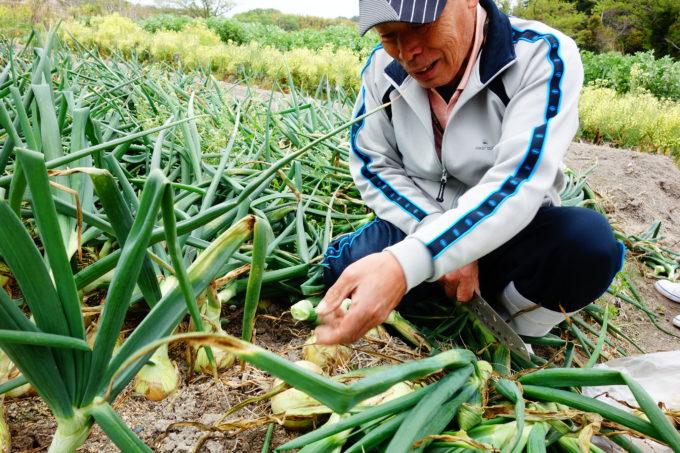 玉ねぎ畑で収穫を手伝う男性
