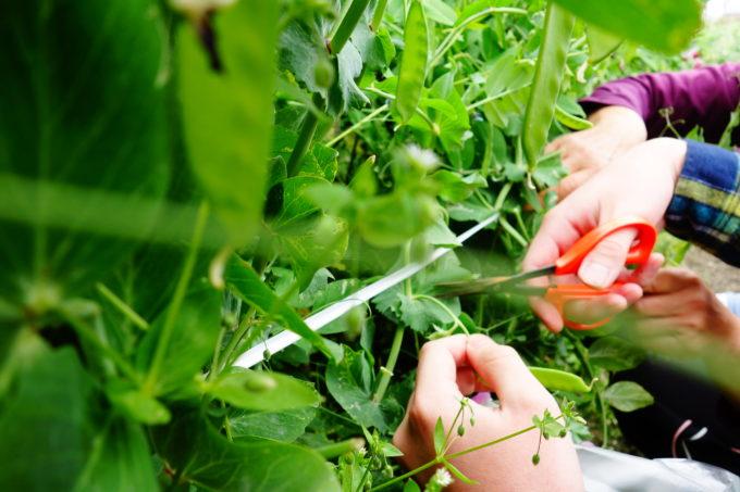 ハサミでえんどうの収穫をする研修生