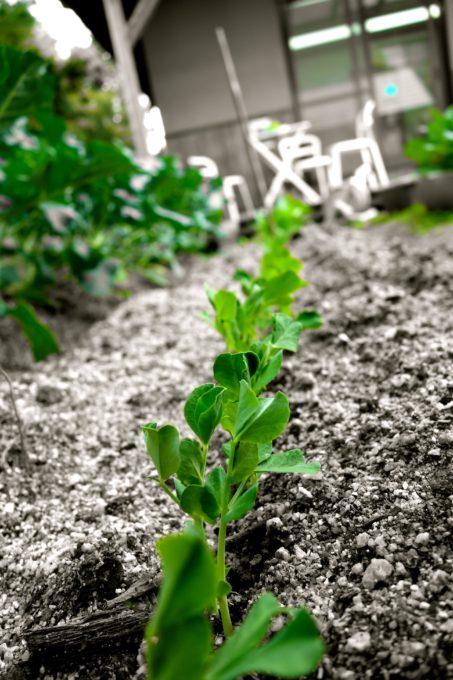 すくすく育つスナップエンドウの苗