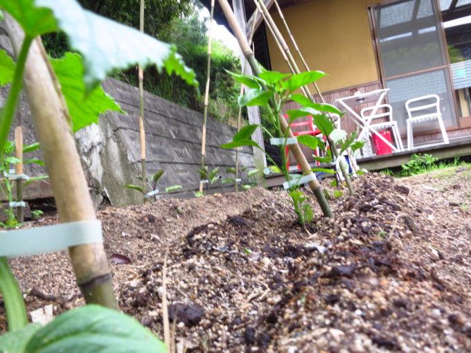 リトルブラス農園にて成長中のナス