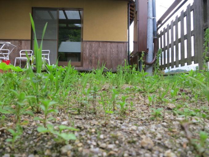 リトルプラス敷地内に生えた雑草