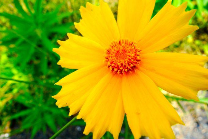 大きく開いた黄色い花