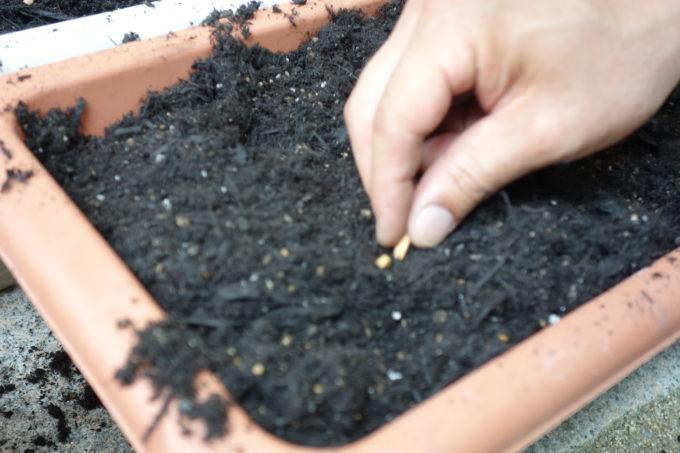 小さい種を植える研修生