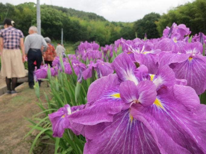 満開にさいた紫色の花菖蒲
