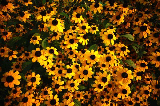 石島にさく黄色の花