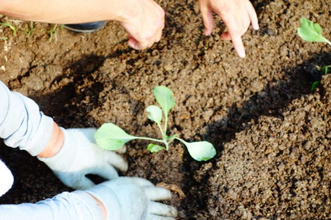 一定の間隔をあけて植えるキャベツの苗
