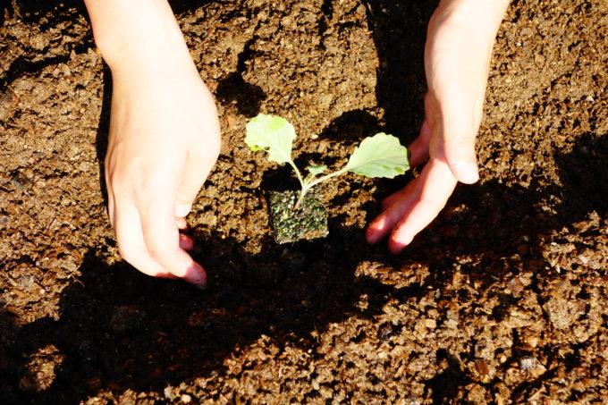 そっと優しく苗を植える研修生の手先