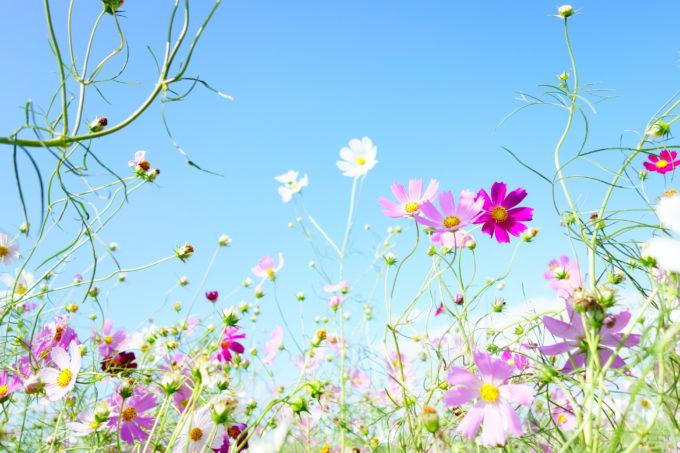 綺麗なコスモスと青い空