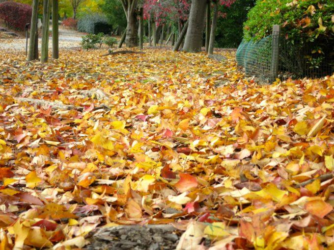 一面に広がる落ち葉の絨毯