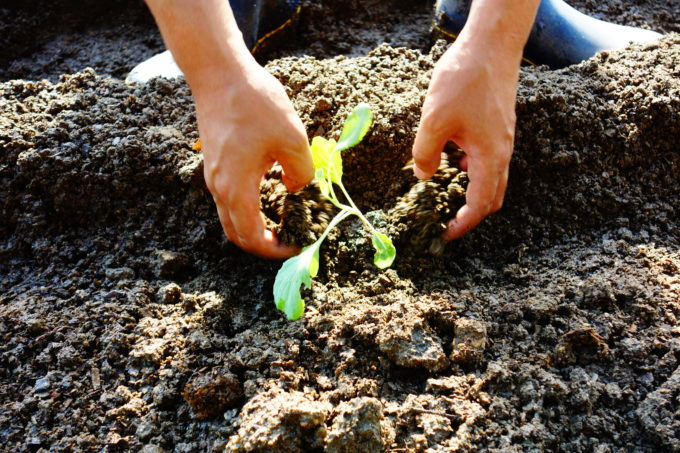 苗を植える研修生の手先