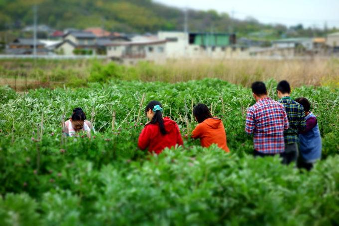 畑の中に入りみんなで収穫体験中