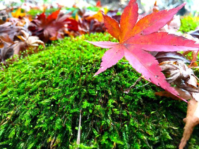 苔と紅葉の葉っぱ