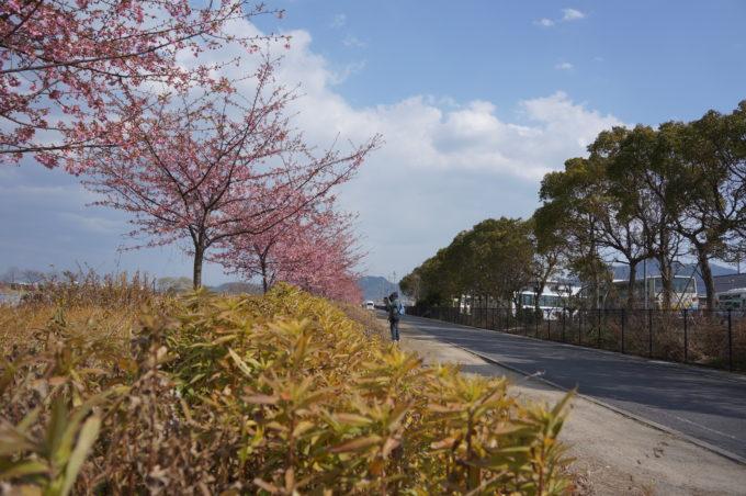 土手沿いに咲く桜