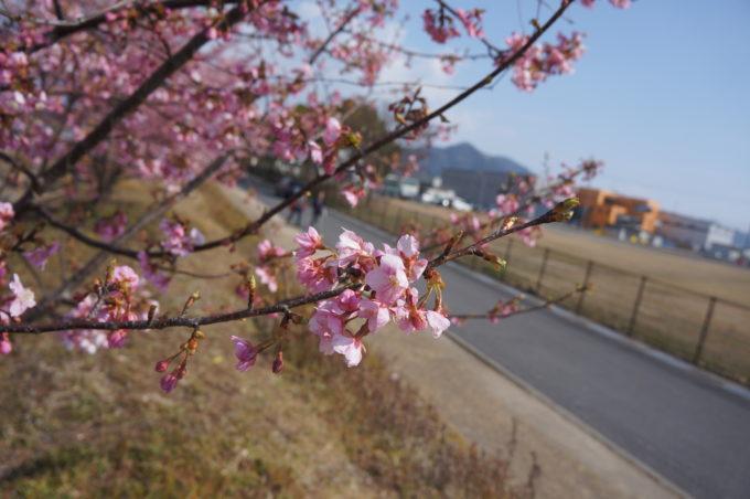 八分咲の桜