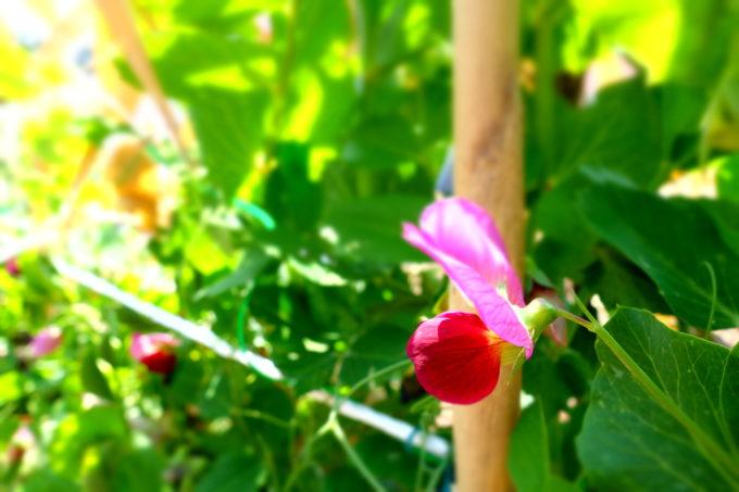 小さな花を咲かせるスナップエンドウ
