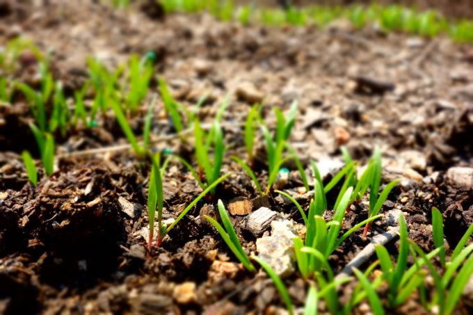 土から小さな芽を出す植物