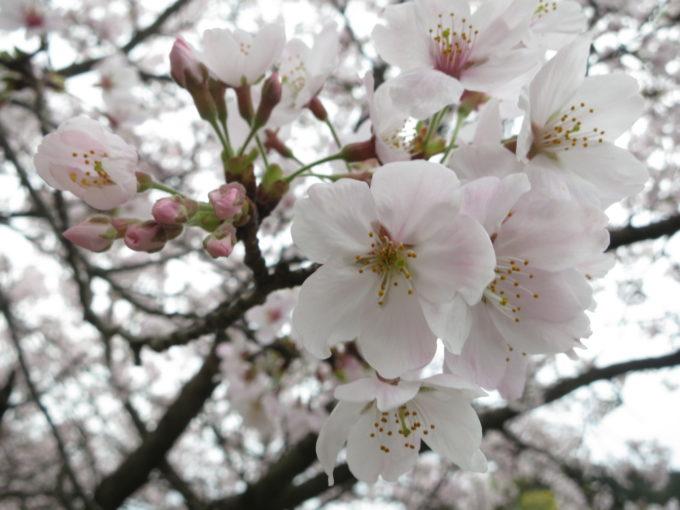 満開の桜の様子
