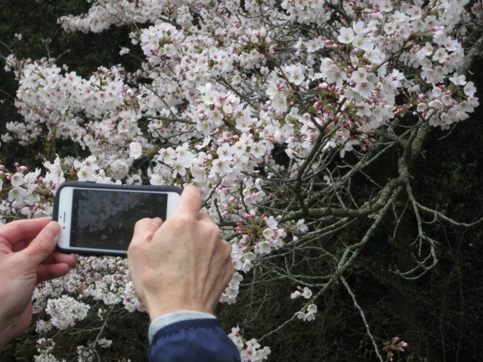 南海の桜をスマホで撮影する様子