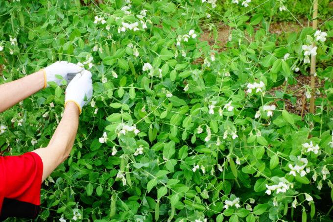収穫するスナップエンドウ