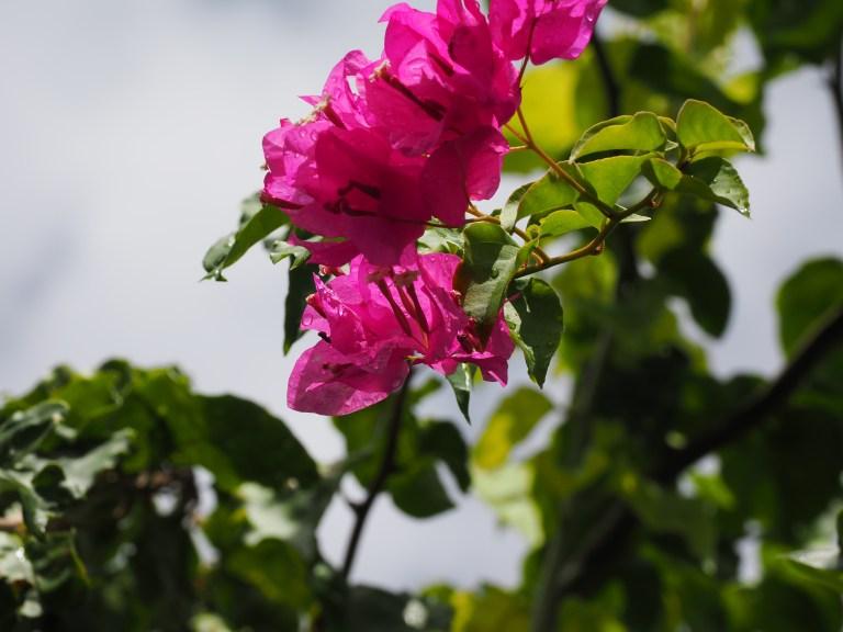 鮮やかなピンク色のお花を撮影した様子