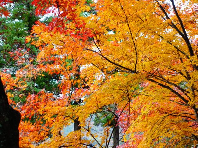 黄色に紅葉した樹々