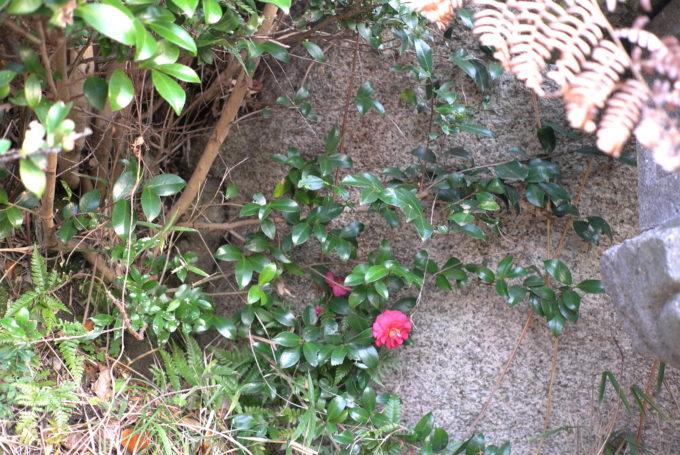 リトルプラスに咲いた花
