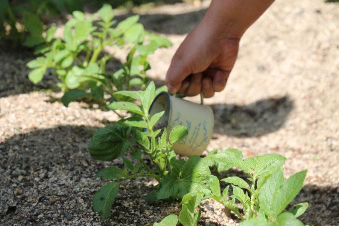 ジャガイモ専用の肥料をやる様子