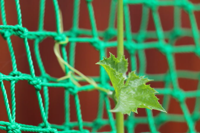 植えたヘチマ