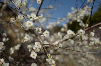 春を感じさせる桜