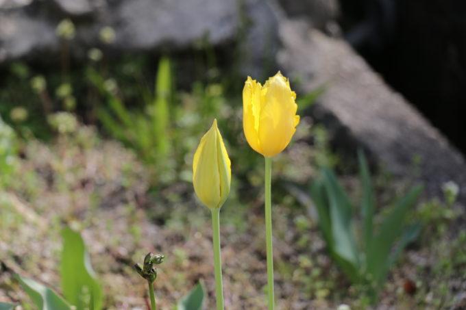 庭に咲くチューリップ