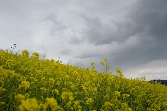暗雲の下に広がる希望を感じさせる黄色い花
