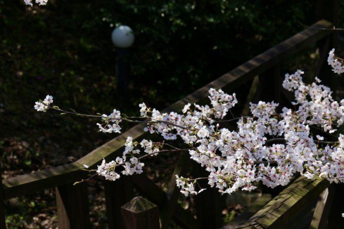 桜と裏庭テラスの橋