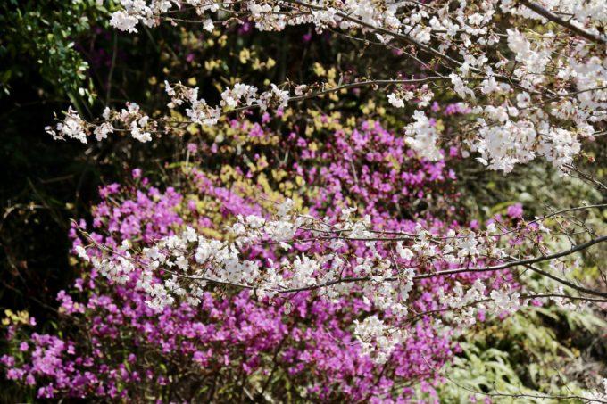 リトルプラス内の桜とつつじ