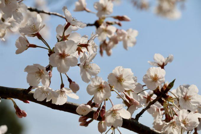 リトルプラスの桜