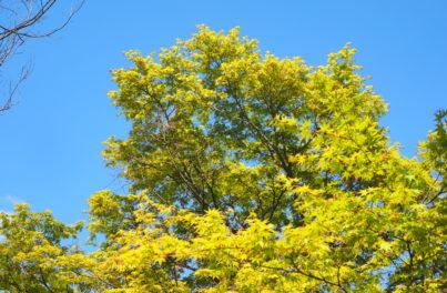 青空を背景にした黄緑色の葉をつけた木